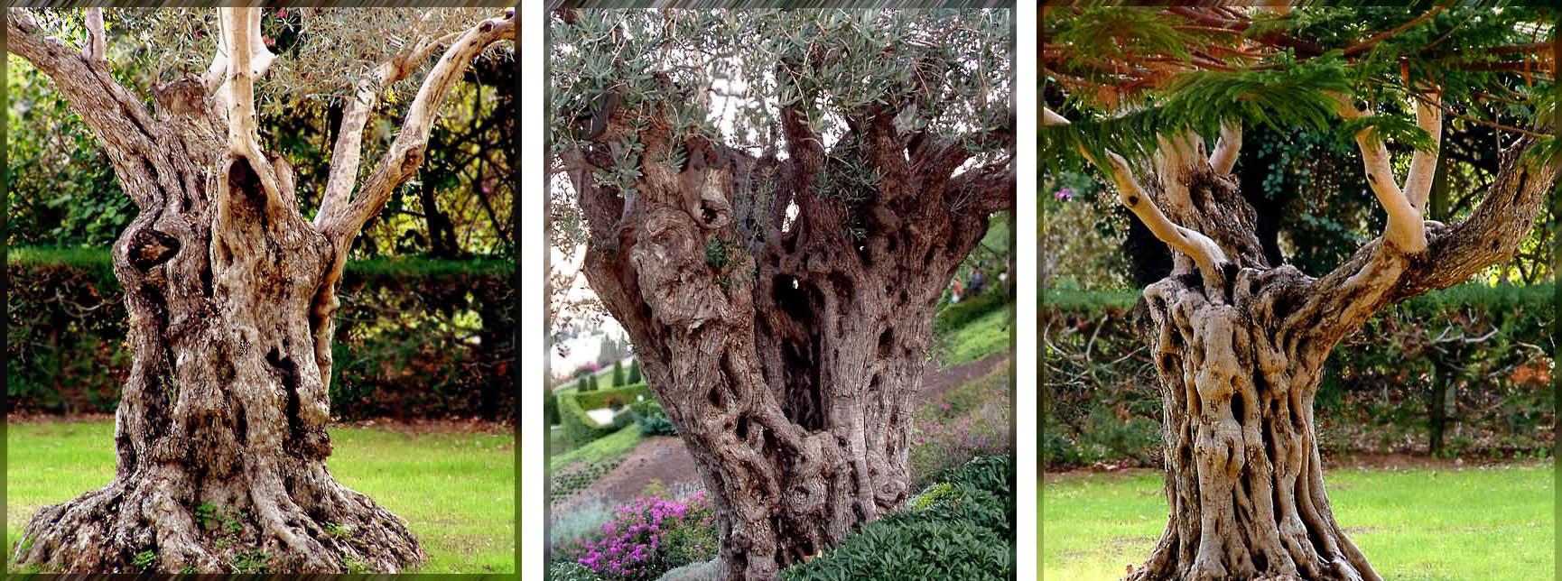 Три оливы