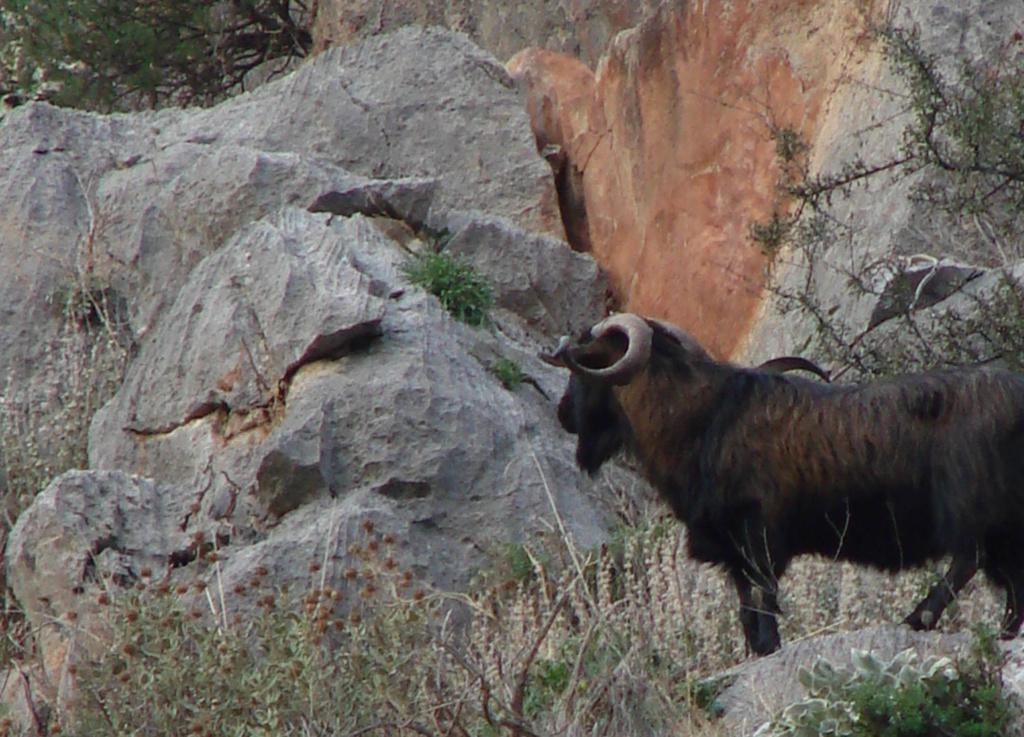 горный баран