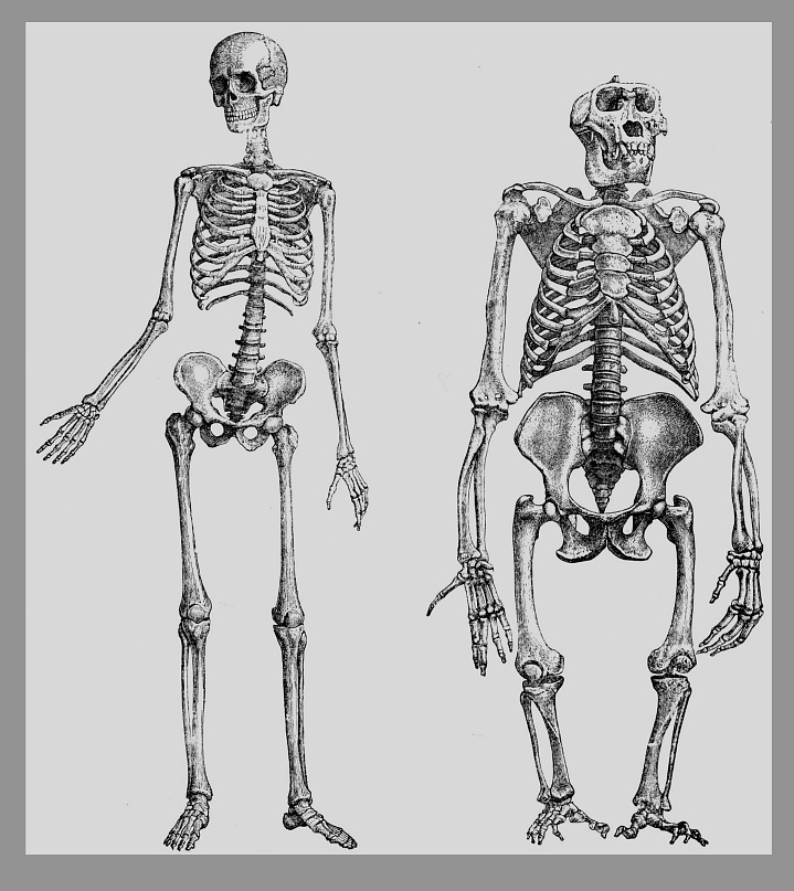 эволюция человекаэволюция человека