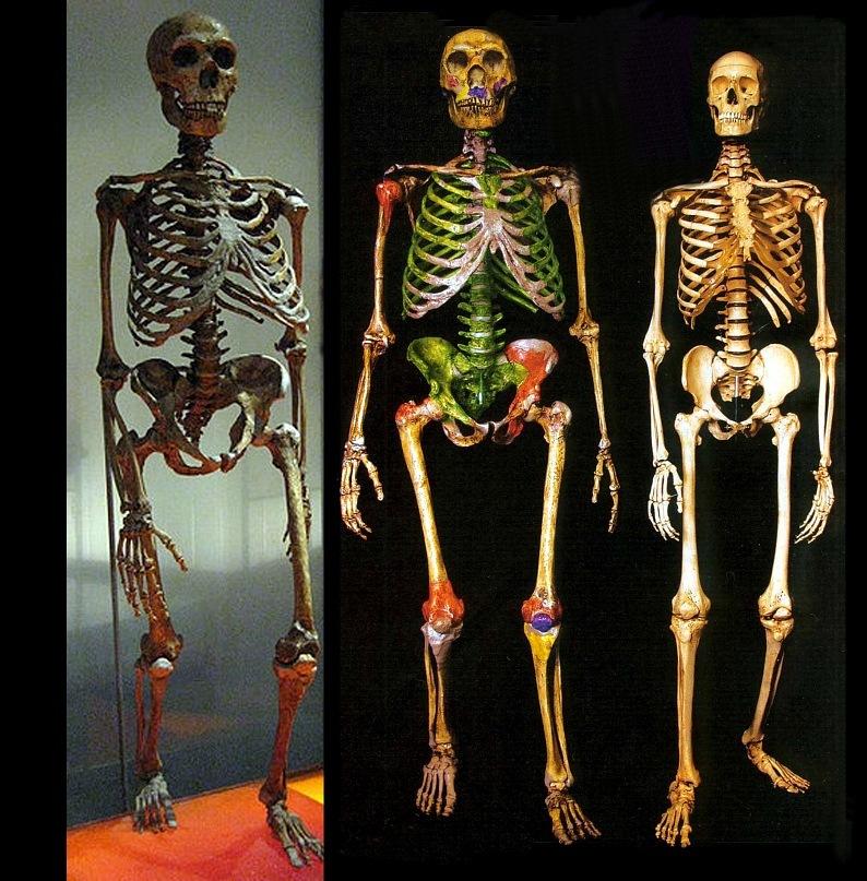 человек анатомия
